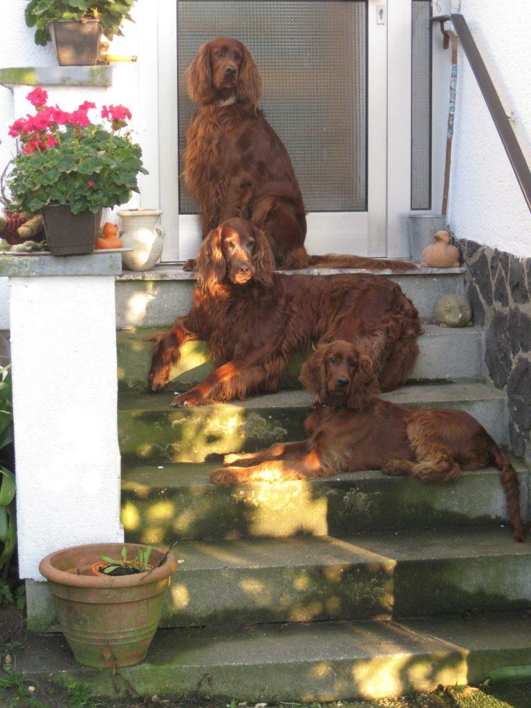 Irish Setter, die roten Jungs, Hunde, Schule, Mittelhessen, Ebsdorfergrund, Amöneburg, Marburg, Fronhausen, Vogelsberg, Landkreis