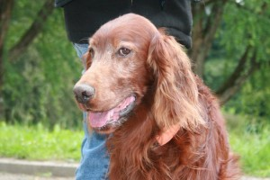 Irish Red Setter Yoscha (Earthfire of Magic Fields)